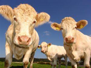 cows-1029077_1280 sve